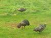 Turkey_crop